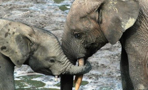 Photo: Andréa Turkalo Baby elephants in Sangha Trinational parks of Cameroon, Central African Republic and Congo